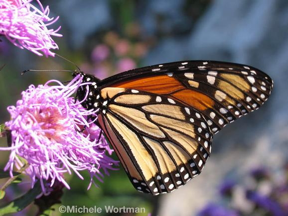 Michele Wortman - Monarch Butterfly