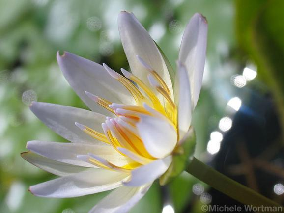 Michele Wortman - Sun drenched waterlily