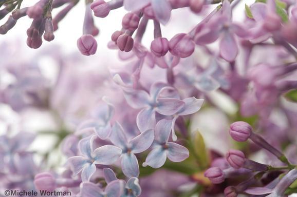 Michele Wortman - Spring Lilacs