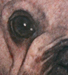 Tattoos - Pug face - 47363
