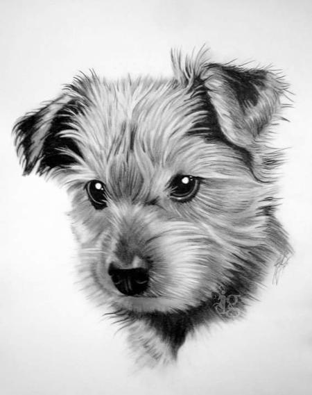 Tattoos - Yorkshire Terrier puppy pencil drawing by Haylo - 141619